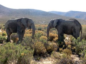 South Africa Elephants - only1invillage.com