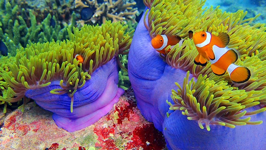 Clown fish heaven awaits in Malaysian waters. Look at the colour of the corals too!