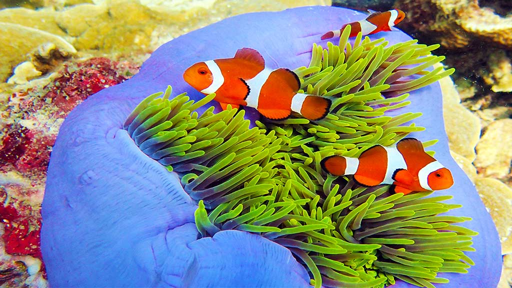 Clown Fish Special Edition 1