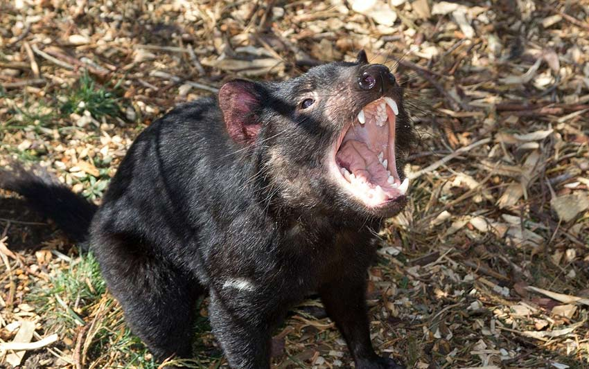 Tasmanian devil try and spot one only1invillage