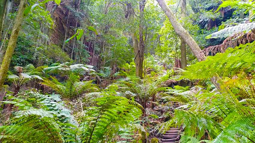 fern forests in the Blue Mountains National Park near Sydney NSW ONly1invillage